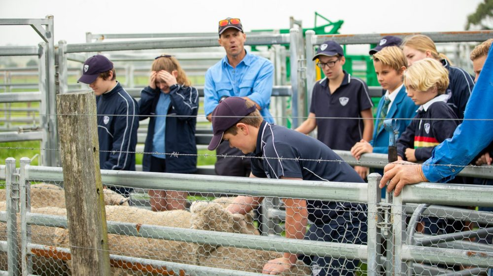 Students working with sheep